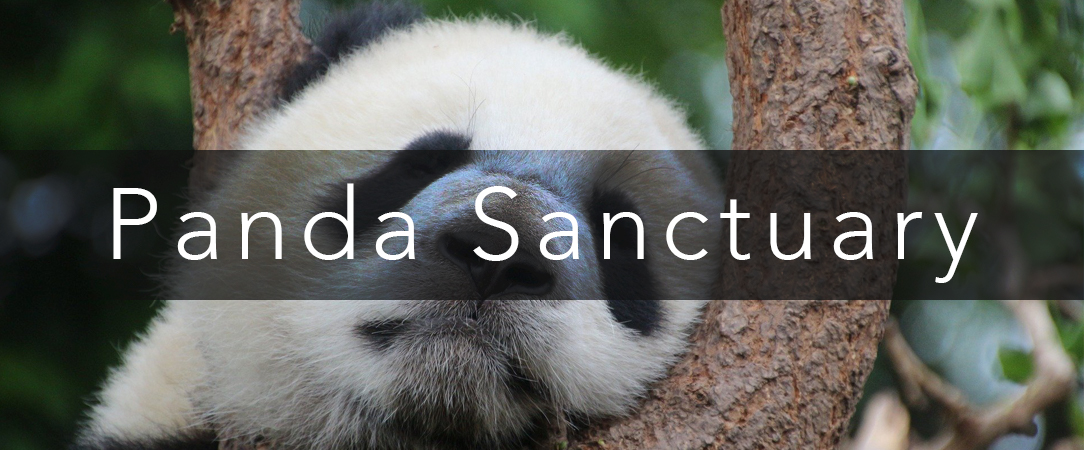 Internships in China - Panda Sanctuary